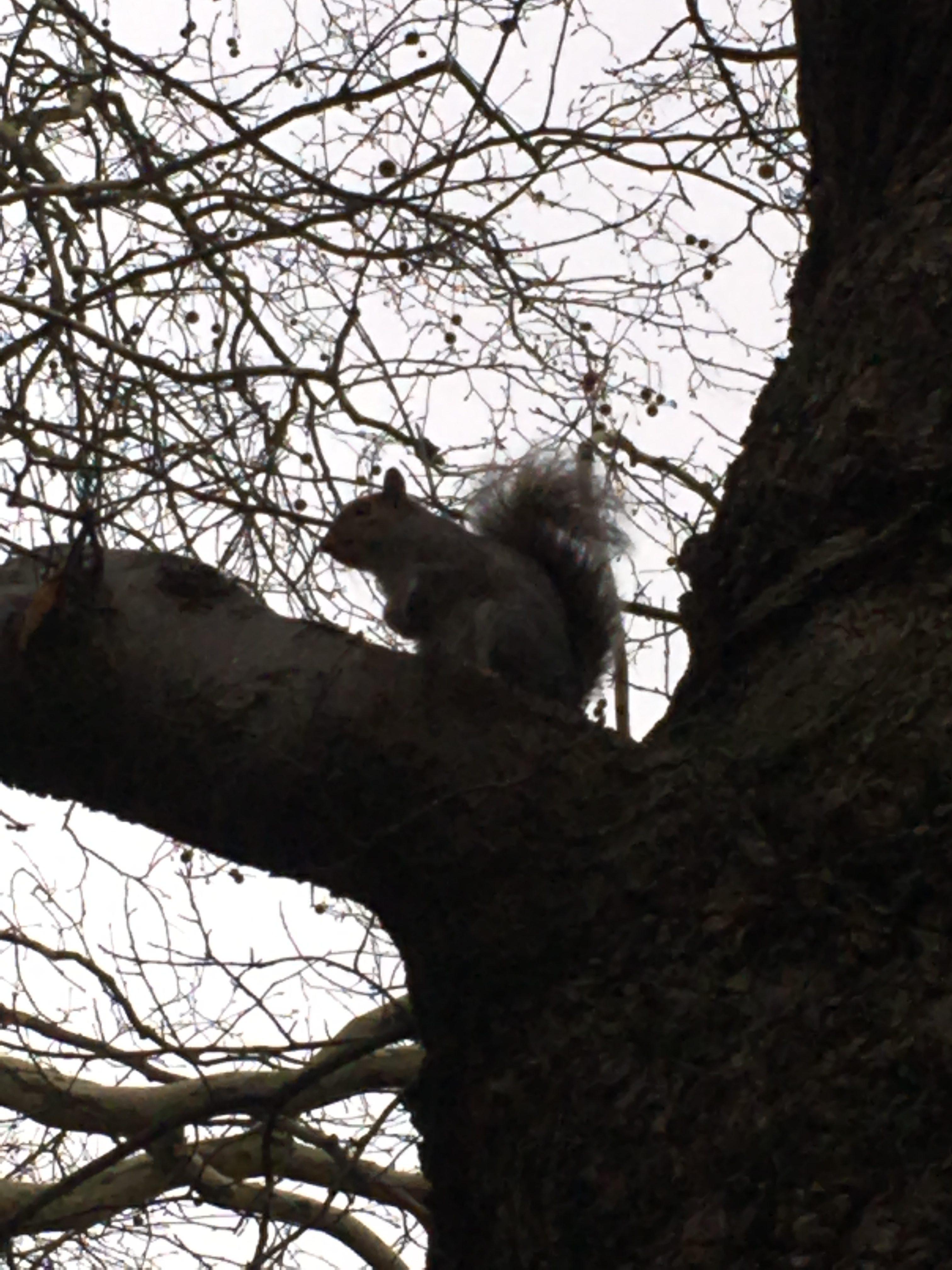 esquirol als jardins de Kensington